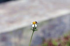 Μικρή πέρκα μελισσών εντόμων στο λουλούδι μαργαριτών Στοκ φωτογραφίες με δικαίωμα ελεύθερης χρήσης