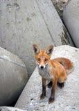 Μικρή περίεργη συνεδρίαση αλεπούδων στο γκρίζο asfalt Στοκ φωτογραφίες με δικαίωμα ελεύθερης χρήσης