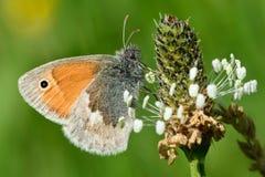 Μικρή πεταλούδα ρεικιών (pamphilus Coenonympha) Στοκ Φωτογραφία