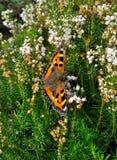 Μικρή πεταλούδα ταρταρουγών στην άσπρη Heather Στοκ Εικόνες