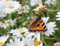 Μικρή πεταλούδα ταρταρουγών στη Daisy Στοκ εικόνα με δικαίωμα ελεύθερης χρήσης