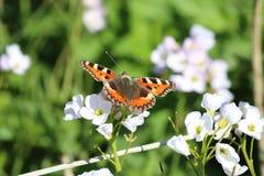 Μικρή πεταλούδα ταρταρουγών (urticae Aglais) στο άσπρο λουλούδι Στοκ φωτογραφία με δικαίωμα ελεύθερης χρήσης