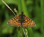 Μικρή πεταλούδα Fritillary μαργαριτάρι-συνόρων Στοκ Εικόνες