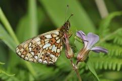 Μικρή πεταλούδα Fritillary μαργαριτάρι-συνόρων Στοκ φωτογραφία με δικαίωμα ελεύθερης χρήσης