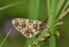 Μικρή πεταλούδα Fritillary μαργαριτάρι-συνόρων Στοκ Εικόνα