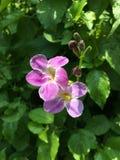 Μικρή πορφύρα λουλουδιών Στοκ φωτογραφίες με δικαίωμα ελεύθερης χρήσης