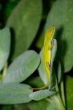 Μικρή πράσινη κατακόρυφος Anole (carolinensis Anolis) σε ένα λογικό φύλλο Στοκ εικόνες με δικαίωμα ελεύθερης χρήσης