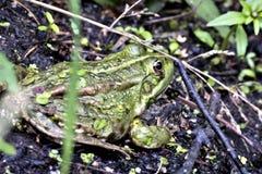 Μικρή πράσινη συνεδρίαση βατράχων στην ακτή στοκ φωτογραφίες