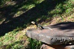Μικρή σαύρα στη ζούγκλα Misiones Στοκ Φωτογραφίες