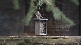 Μικρή σκοτεινή eyed συνεδρίαση πουλιών junco στον τροφοδότη φιλμ μικρού μήκους