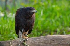 Μικρή συνεδρίαση αετών στον κλάδο στοκ φωτογραφίες με δικαίωμα ελεύθερης χρήσης