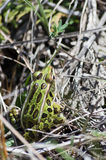 Μικρή συνεδρίαση βατράχων λεοπαρδάλεων στο έδαφος Στοκ εικόνα με δικαίωμα ελεύθερης χρήσης
