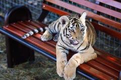 μικρή τίγρη Στοκ Φωτογραφία
