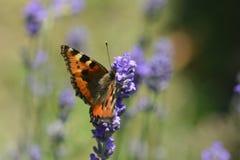 μικρή ταρταρούγα πεταλούδων Στοκ φωτογραφία με δικαίωμα ελεύθερης χρήσης