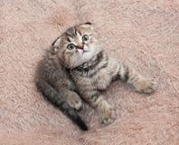 Μικρή τιγρέ συνεδρίαση πτυχών γατακιών σκωτσέζικη, που κοιτάζει επίμονα επάνω Στοκ Εικόνες