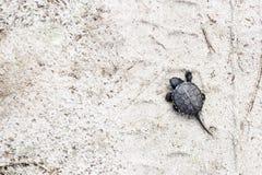 Μικρή χελώνα ποταμών σε ένα αμμώδες υπόβαθρο ανασκοπήσεις φυσικές Ζωικός κόσμος Στοκ Εικόνα