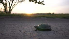 Μικρή χελώνα που σέρνεται σε μια εθνική οδό σε μια λίμνη στο ηλιοβασίλεμα σε σε αργή κίνηση απόθεμα βίντεο