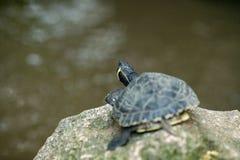 Μικρή χελώνα που στηρίζεται σε έναν βράχο στοκ φωτογραφία με δικαίωμα ελεύθερης χρήσης