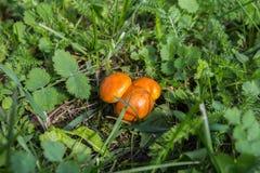 Μικρή boletus ανάπτυξη μανιταριών στην πράσινη χλόη Στοκ Εικόνα