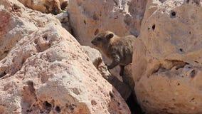 Μικρή cub συνεδρίαση κουνελιών βουνών μεταξύ των βράχων σε Rosh Hanikra απόθεμα βίντεο
