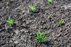 Μικροί βλαστοί Allium εγκαταστάσεων Στοκ Φωτογραφία