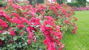 Μικροί θάμνοι με τα κόκκινα τριαντάφυλλα Κίνημα καμερών κατά μήκος του Μπους απόθεμα βίντεο