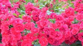 Μικροί θάμνοι με τα κόκκινα τριαντάφυλλα Μετακίνηση καμερών από το κατώτατο σημείο επάνω απόθεμα βίντεο