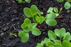 Μικροί νεαροί βλαστοί πράσινων και κόκκινων ραδικιών στο οργανικό αυξανόμενο μέσο Στοκ Φωτογραφία