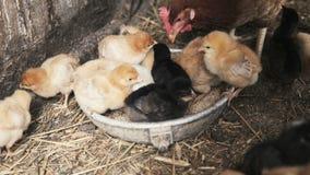 Μικροί νεοσσοί με την κότα φιλμ μικρού μήκους