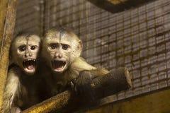 Μικροί πίθηκοι στο ζωολογικό κήπο το γυαλί staring στοκ φωτογραφία με δικαίωμα ελεύθερης χρήσης