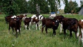 Μικροί ταύροι που βόσκουν στην πράσινη χλόη φιλμ μικρού μήκους