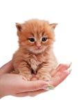 μικροί φοίνικες γατακιών &k Στοκ Εικόνα