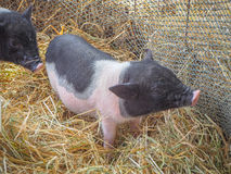 Μικροί χοίροι που ζουν στο αγρόκτημα Στοκ εικόνα με δικαίωμα ελεύθερης χρήσης
