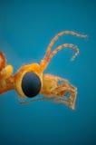 Μικρογράφημα του κεφαλιού μιας γερανός-μύγας Στοκ εικόνα με δικαίωμα ελεύθερης χρήσης