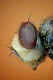 Μικρογράφημα του κεφαλιού μιας μύγας Στοκ φωτογραφία με δικαίωμα ελεύθερης χρήσης