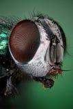 Μικρογράφημα του κεφαλιού μιας μύγας Στοκ Εικόνες