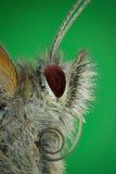 Μικρογράφημα του κεφαλιού μιας πεταλούδας Στοκ Εικόνες