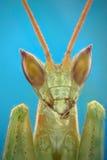 Μικρογράφημα του κεφαλιού των mantis μιας επίκλησης Στοκ εικόνες με δικαίωμα ελεύθερης χρήσης