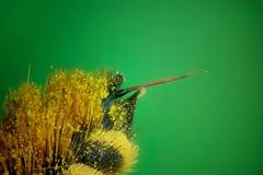 Μικρογράφημα του τσιμπήματος μελισσών Στοκ Φωτογραφίες