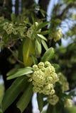 Μικροσκοπικά άσπρα λουλούδια του δέντρου διαβόλων στοκ εικόνες