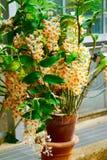Μικροσκοπικά, λεπτά άσπρα πορτοκαλιά λουλούδια ορχιδεών Στοκ εικόνες με δικαίωμα ελεύθερης χρήσης