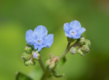 Μικροσκοπικά, λεπτά λουλούδια κινεζικό Forget-me-not στοκ φωτογραφία