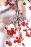 Μικροσκοπικά κόκκινα φρούτα με το χιόνι Στοκ εικόνα με δικαίωμα ελεύθερης χρήσης