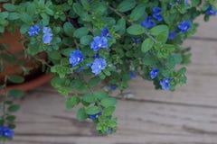 Μικροσκοπικά μπλε πορφυρά λουλούδια σε ένα δοχείο στο patio στοκ φωτογραφίες με δικαίωμα ελεύθερης χρήσης