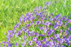 Μικροσκοπικά μπλε διακοσμητικά λουλούδια Aubrieta διακοσμητικό gar ηλιοφάνειας Στοκ φωτογραφία με δικαίωμα ελεύθερης χρήσης