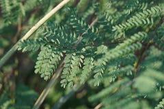 Μικροσκοπικά πράσινα φύλλα σε έναν κλάδο στοκ εικόνα με δικαίωμα ελεύθερης χρήσης