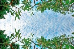 Μικροσκοπικά σύννεφα και πολύβλαστα πράσινα δέντρα σημύδων φυλλώματος και δάσος μπλε ουρανού την άνοιξη στην προοπτική σύστασης υ Στοκ φωτογραφίες με δικαίωμα ελεύθερης χρήσης
