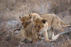 Μικροσκοπικά cubs που το ένα με το άλλο στοκ φωτογραφία