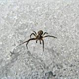 Μικροσκοπική αράχνη που περπατά στον πάγο στοκ φωτογραφία με δικαίωμα ελεύθερης χρήσης