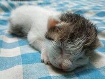 Μικροσκοπική εικόνα ύπνου γατών μωρών στοκ εικόνα με δικαίωμα ελεύθερης χρήσης